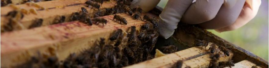 Acheter des essaims d'abeilles produits en France