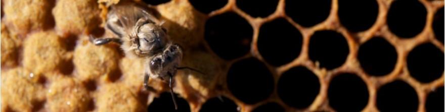 Acheter des reines d'abeilles Buckfast produites en France
