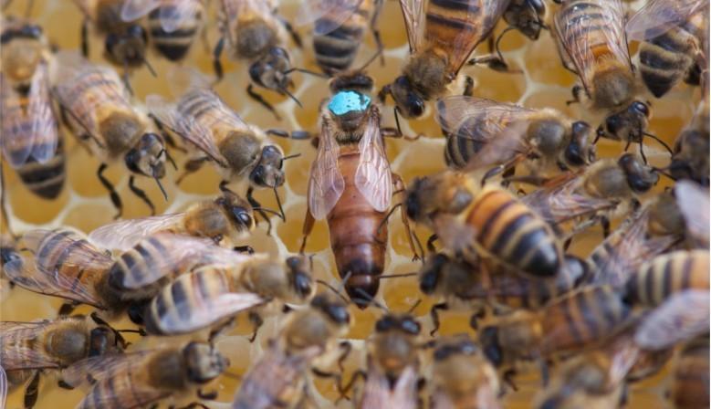 Essaims d'abeilles avec reine buckfast frère Adam